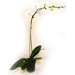 Single Stem White Orchid 7